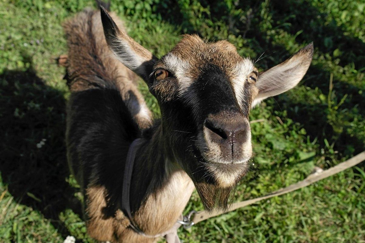 A curious goat next to Uhniv's Catholic church