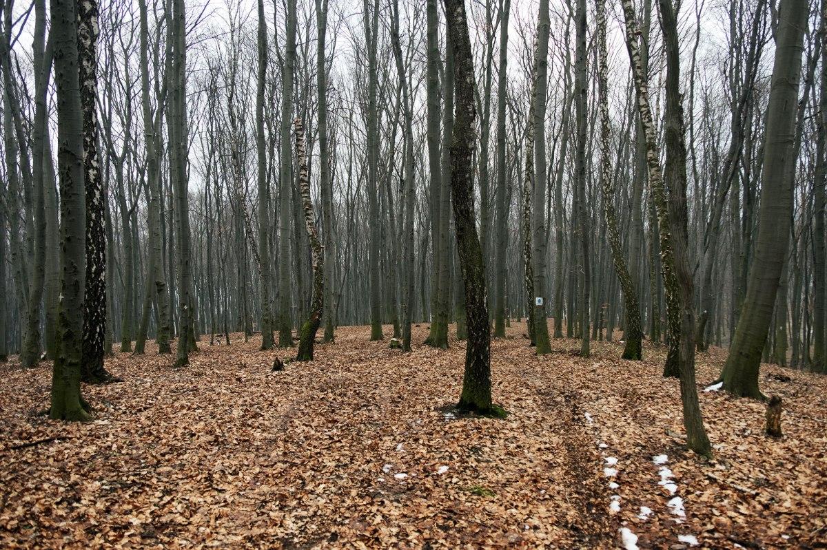 Lysynychi forest